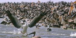 Dénombrement international et annuel des oiseaux d'eau migrateurs: Plus de 3 millions d'individus fréquentent cette année le Djoudj