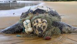 Grande Côte: 47 carcasses de tortues marines sur le sable !