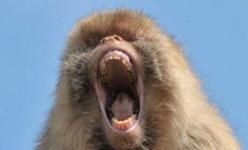 Saint-Louis : un singe mordeur sème la panique à Pikine.