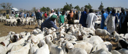 TABASKI 2014: Aminata Mbengue Ndiaye ne «garantit pas» la suffisance en moutons.