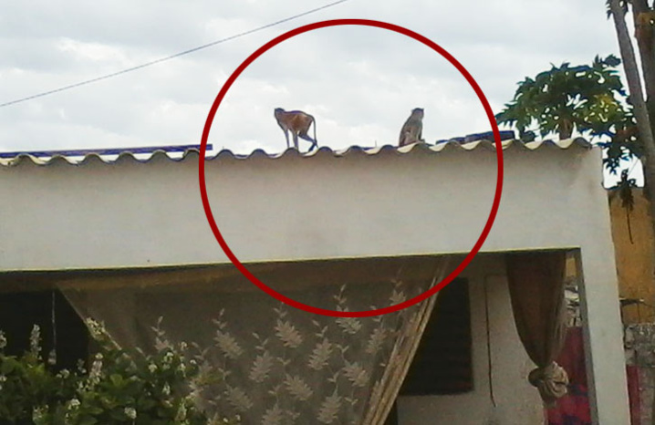 Deux singes photographiés sur le toit d'une maison à Pikine Bas Sénégal