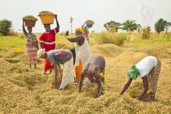 Autosuffisance en riz et développement agricole au Sénégal : Ne Refermez pas le débat
