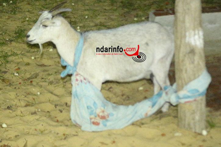 Saint-Louis : un voleur de chèvre surpris les mains dans le sac. Trois prostituées clandestines coincées.