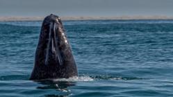 Le Japon contraint de jeter de la viande de baleine bourrée de pesticides