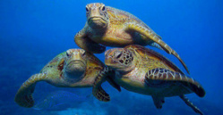 Saint-Louis - Conservation des espèces migratrices appartenant à la faune sauvage: Menaces sérieuses de disparition des tortues marines