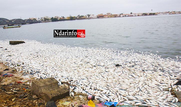 DÉSASTRE : sans «acheteurs», 5 grosses pirogues ont versé leur contenu sur le fleuve Sénégal.