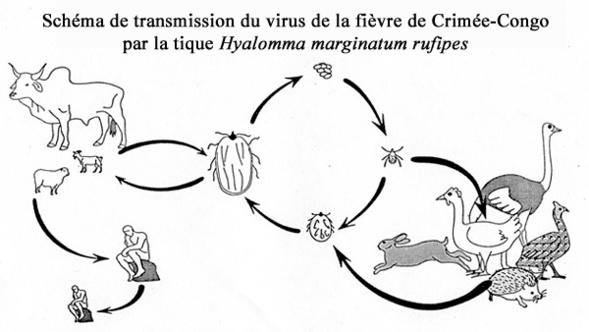 Schéma de transmission du virus de la fièvre du Crimée-Congo
