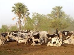 ROSS-BÉTHIO: Tension dans l'air entre éleveurs et agriculteurs