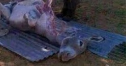 Viande d'âne, un boucher tombe