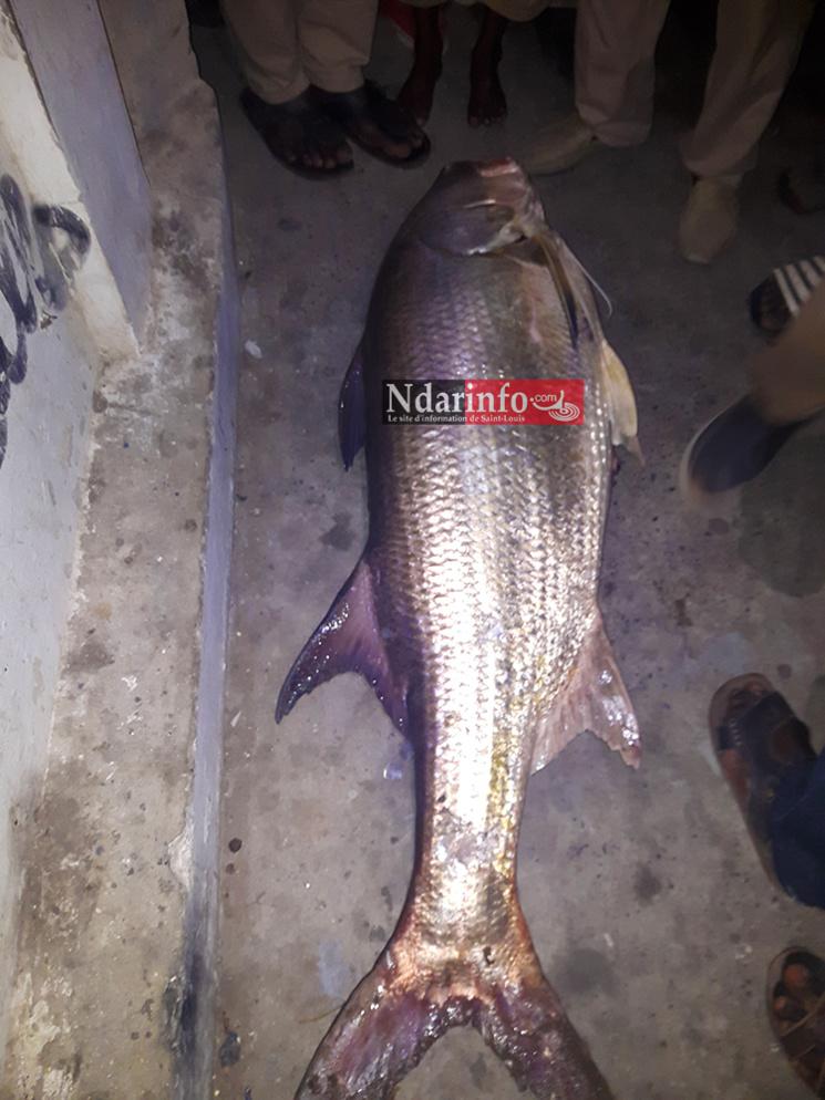 Un étrange poisson capturé sous le pont Faidherbe ( Photos)