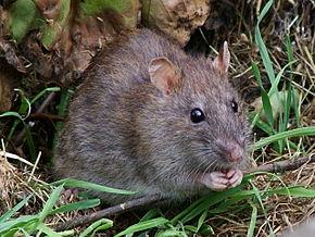NDIAYE ET NGOMENE : des rats sabotent les rendements agricoles.