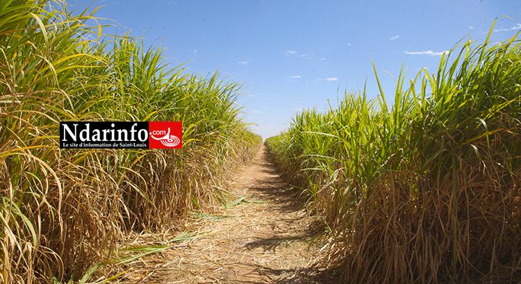 CSS - KT150:  la production de sucre au Sénégal a quadruplé au 4e trimestre 2016