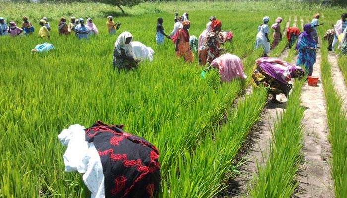 Podor : L'association Rizaf exploite 47 hectares en rizière :Un projet d'économie sociale et solidaire à Thikité