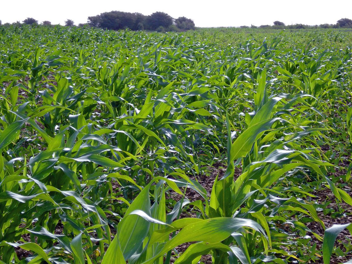 Campagne agricole dans la vallée : Pause pluviométrique de 40 jours, le riz au stade épiaison