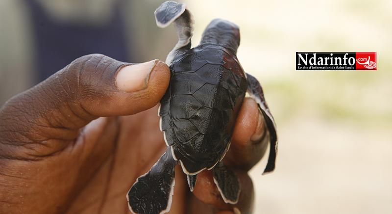 VIDÉO - Éclosion d'œufs de Tortues marines au Parc National de la Langue de Barbarie