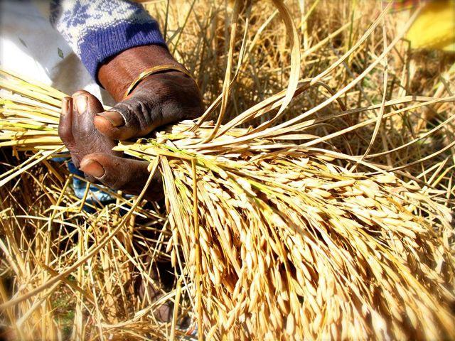 Agriculture : Le PAPRIZ2 donne ses lignes directrices pour l'autosuffisance et/ou l'exportation du riz sénégalais