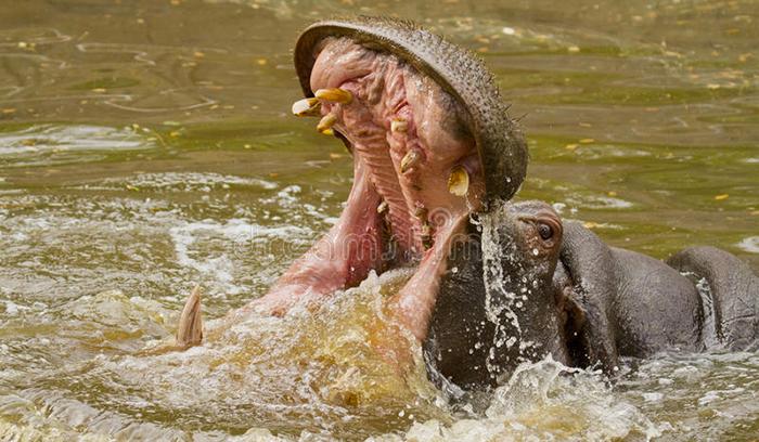 NDIAWDOUNE : un hippopotame écrase une pirogue. Le pêcheur …