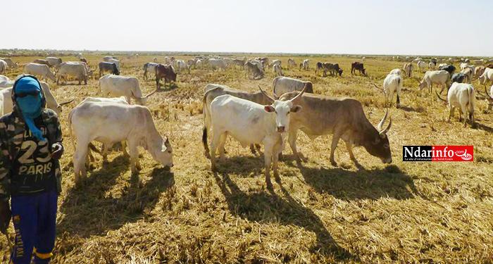 SOCIAL : les champs de SENHUILE abreuvent le cheptel ( photos )
