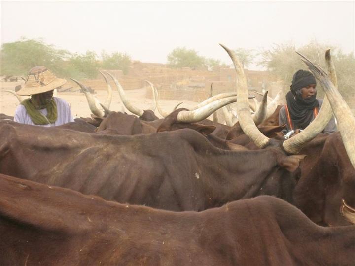 Ranch de Dolly : 6354 têtes de bétail tuées après la forte pluie
