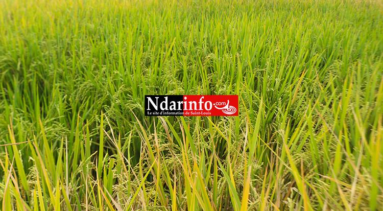 Riziculture : un niveau de réalisation de 98% pour la saison chaude