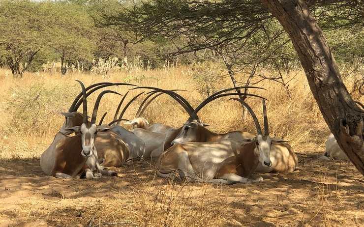 Photo : Les oryx algazelles de la réserve de Guembeul