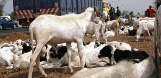 Louga : Vingt bêtes tuées après avoir mangé des produits périmés