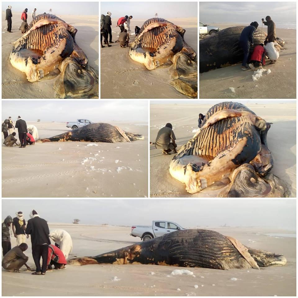 Vives craintes après l'échouage d'une baleine à la frontière sénégalo-mauritanienne