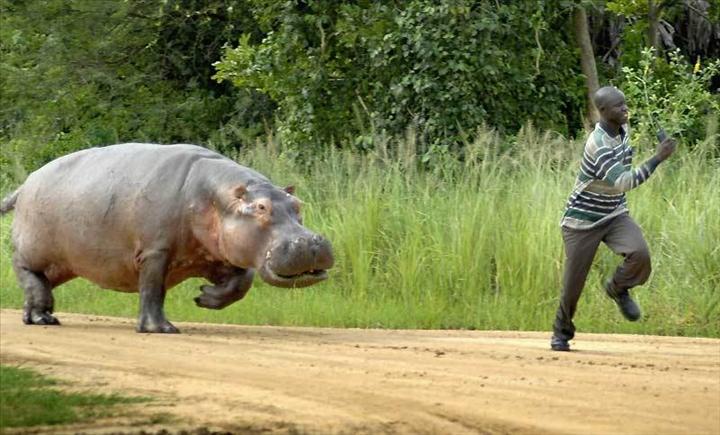 Un hippopotame qui semait la terreur abattu par un chasseur