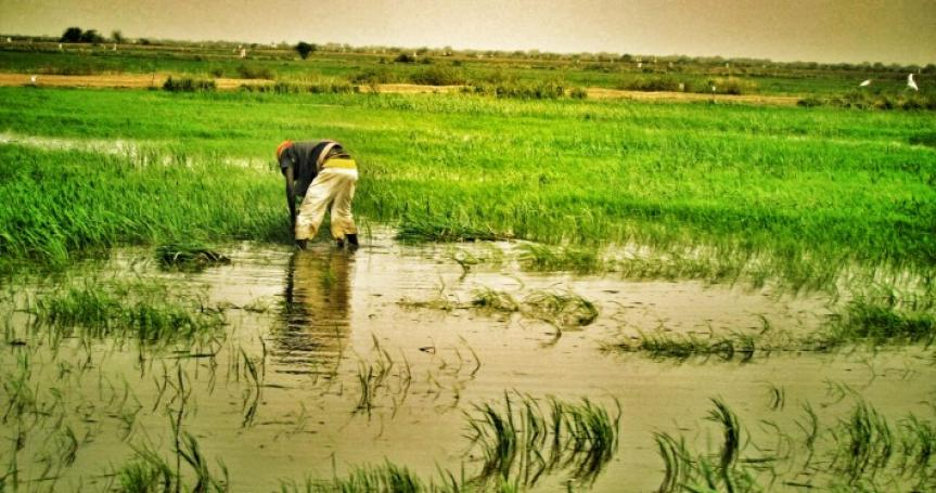 Production et la transformation du riz : l'USAID salue les performances enrégistrées dans le Walo