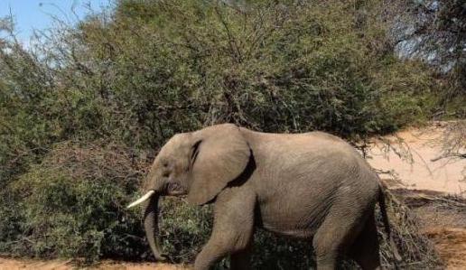 Un élephant observé en liberté pour la première fois depuis des années au Sénégal
