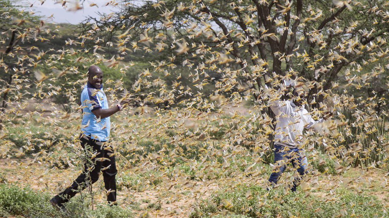 Éthiopie. L'invasion de criquets provoque une crise alimentaire, un million de personnes en danger