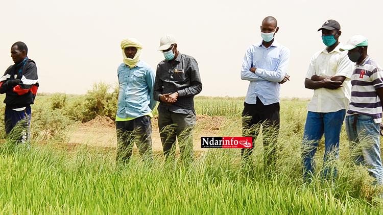 Campagne contre saison sèche chaude : Plus de 99% des résultats ont été atteints, selon le DG de la SAED (vidéo)