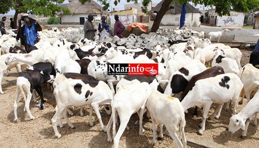 Saint-Louis : les besoins en moutons de Tabaski estimés à 180 000 têtes