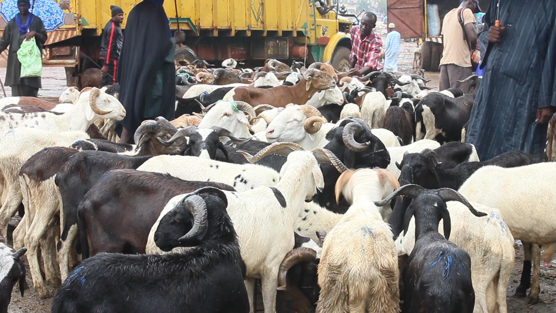 Mauritanie : les 450.000 moutons promis au Sénégal en route (vidéo)