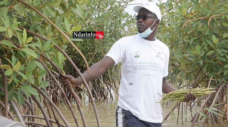 """""""La mangrove, l'espèce magique du développement économique des peuples côtiers""""(vidéo)"""