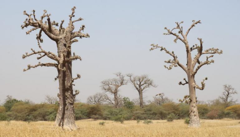 Saint-Louis : Les populations invitées à préserver le baobab