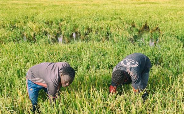 Déroulement de la campagne agricole : le DRDR de Saint-Louis fait le point