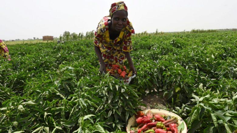 FAO - Au Sénégal, on perd 100 milliards F CFA par an, après les récoltes