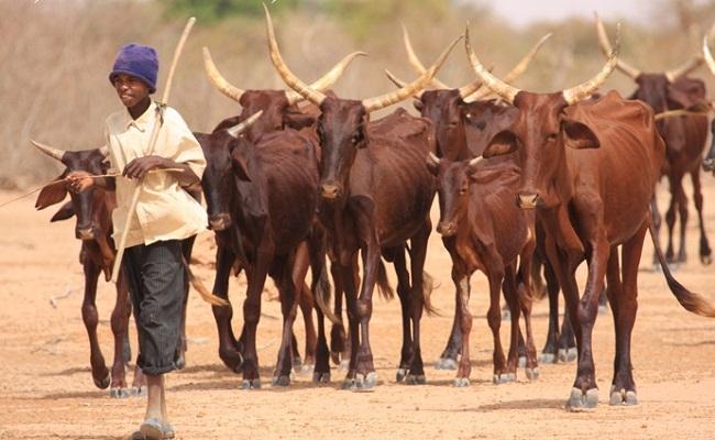 Le secteur de l'élevage ''négativement impacté'' par le Covid-19