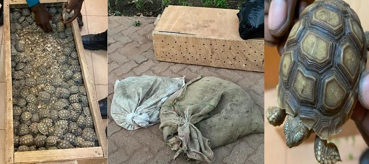 Pas moins de 555 tortues saisies par les douanes burkinabè en provenance du Mali
