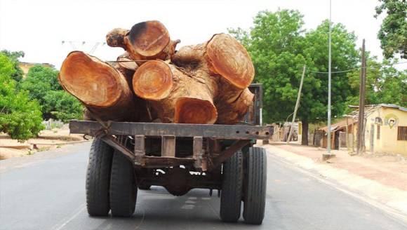 """14 troncs de vène saisis: Comment la Gambie """"saigne"""" le Sénégal"""