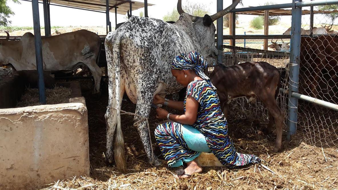 Au Sénégal, la filière laitière se noie sous les excédents de lait européens