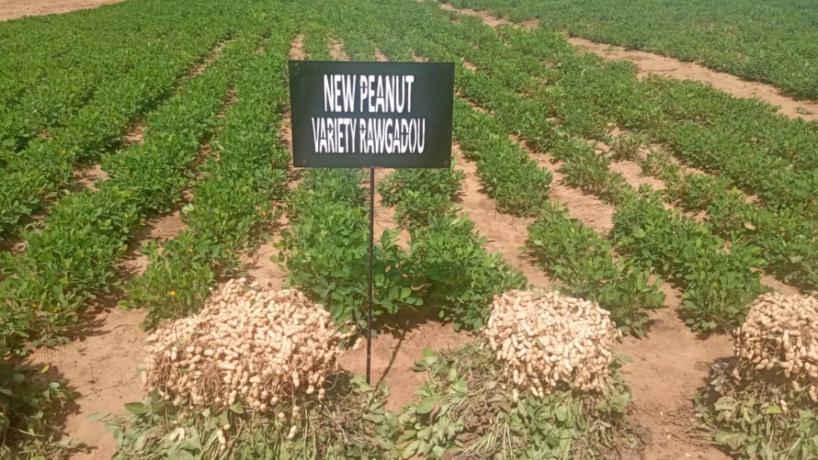 Agriculture Intelligente: de nouvelles variétés de graines plus performantes et plus riches expérimentées par l'ISRA