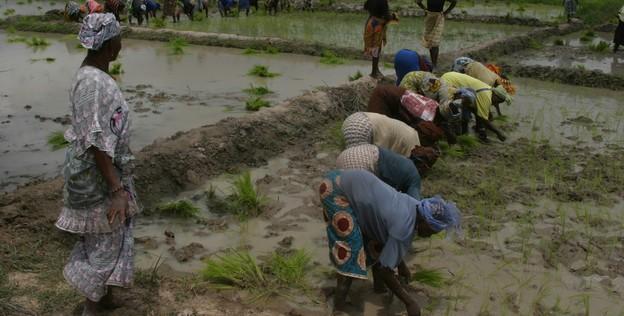 Auosuffisance en riz : la SAED peut compter sur le potentiel non aménagé de Podor (ingénieur)