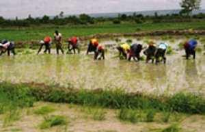 Riziculture : de nouvelles techniques culturales expérimentées dans la Vallée