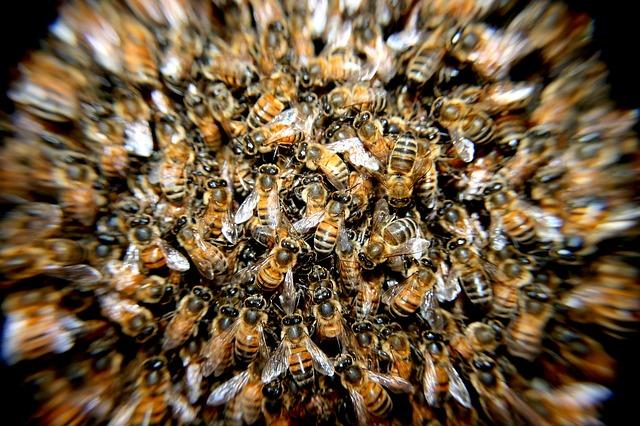Saint-Louis : des abeilles sèment la panique à Rao.