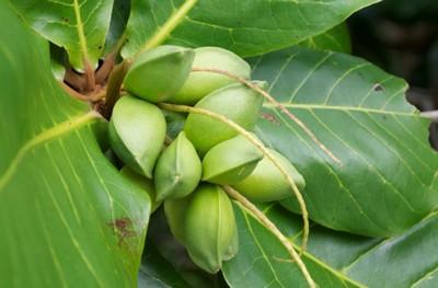 Les propriétés thérapeutiques du Badamier( Guerté toubab)
