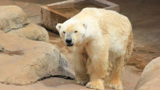 Le dernier ours blanc d'Afrique meurt au zoo de Johannesburg