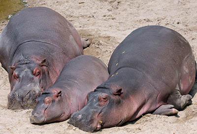 Saint-Louis - trois hippopotames à Médina Darou : la traque a démarré.