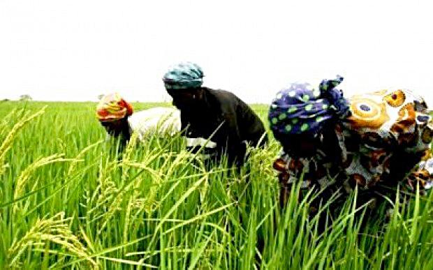 Autosuffisance en riz en 2017 : par devoir  d'éclairage. El-hadji Moustapha Diop, Spécialiste en semences